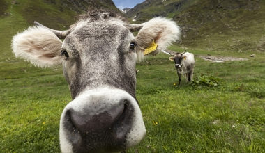 Kuh-Angriff: Streit um Tierhalterhaftpflicht in Deutschland