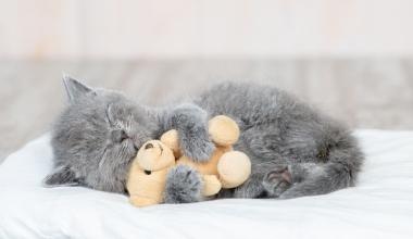 DFV erweitert Tierversicherung PETPROTECT auf Katzen