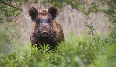 Afrikanische Schweinepest: Wie sind die Bauern abgesichert?