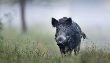 Ungeplantes Rendez-vous mit einem Wildschwein: Das sollte man vermeiden