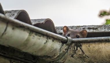 Ruinierter Dachstuhl: Ist Marderbefall außergewöhnliche Belastung?